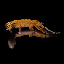 Leopardgecko 'Wyatt' Tangerine Tremper Albino