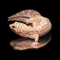 Leopardgecko 'Miracle' Bandit Tangerine Striped Chocolate Tremper Albino