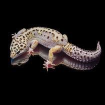 Leopardgecko 'Vyncent' Lavender Stripe