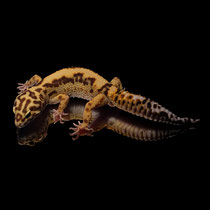 Leopardgecko 'Snowflake' Mack Super Snow