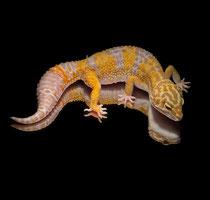 Leopardgecko 'Rue' Super Giant Extreme Emerine