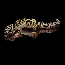 Leopardgecko 'Jade' Tangerine Jungle Bandit het. Tremper Albino