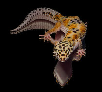 Leopardgecko 'Nayeli' Rainbow Red Stripe