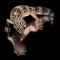 Leopardgecko 'Big Ben' Black Night cross Wildtyp