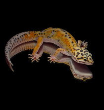 Leopardgecko 'Yakari' Rainbow Red Stripe
