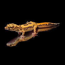 Leopardgecko 'Liv' Super Giant High Contrast Reverse Broken Striped Tangerine Tremper Albino