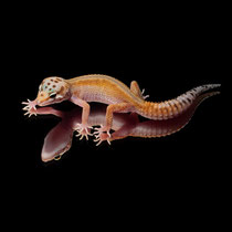 Leopardgecko 'Najuka' Red Stripe and Lavender