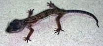 Krankheiten: Cryptosporidien Krypotosporien erkrankt Leopardgecko