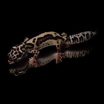 Leopardgecko 'Frost' Striped Mack Snow Bandit het. Tremper Albino