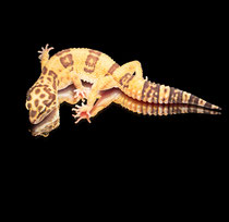 Leopardgecko 'Bright' Tangerine Chocolate Tremper Albino