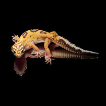 Leopardgecko 'Cake' Tangerine  Chocolate Tremper Albino