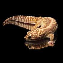 Leopardgecko 'Eden' Bandit Tangerine Striped Chocolate Tremper Albino