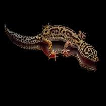 Leopardgecko 'Venice' Lavender Stripe