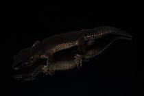 Leopardgecko Black Night 'Sula' von Roy Suiter & Ferry Zuurmond