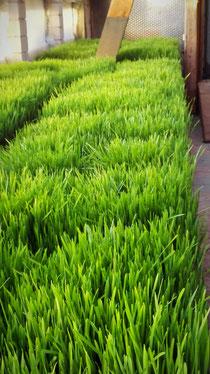 Weizengras Weizengrassaft Dinkelgras Dinkelgrassaft Gerstengras Gerstengrassaft