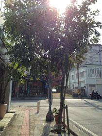 ナンバンサイカチの樹