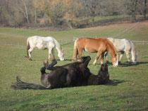 poneys au repos