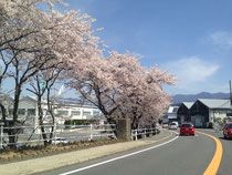 中津川市内の桜