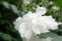 八重咲の白いむくげの花。宝塚花の道にて。