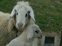 Kärntner Brillenschafe - Mutter mit Kind