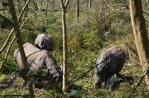 Couple de rhinos avec un petit