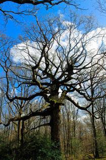 Le Chêne des Hindrés.