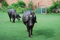 Wasser für die Büffel