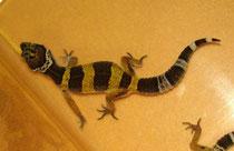 Wildtyp Jungtier mit Banded Zeichnung