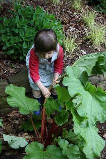 Rhabarber selber rausziehen ... aber Achtung: Die Blätter sind giftig!
