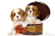 Cuccioli Cavalier King in scatola regalo