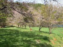 湖の桜並木