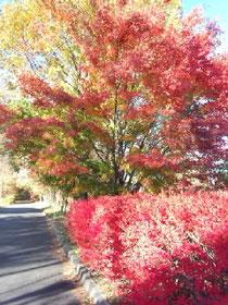 真っ赤な秋ドウダンツツジ