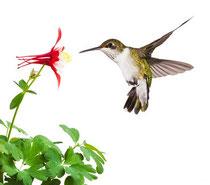 Hummingbird ©mtruchon | fotolia