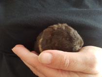 Der kleine Damon aus dem D-Wurf hat es leider nicht geschafft. Er war der kleinste im Wurf und hatte gegen seine Geschwister keine Chance an der Milchbar von Mama. Trotz zufüttern und steter Gewichtszunahme wurde er nur 12 Tage alt☹.