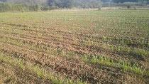 冬の畑には麦を蒔いています
