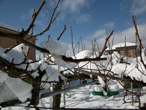 雪のスモモ畑