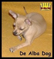 Foto perro de raza chihuahua hembra de pelo corto linea mejicana (cabeza de venado), propiedad de los criadores de chihuahua De Alba Dog en Valencia (España), venta de chihuahuas; cachorros chihuahua con prdigree y afijo