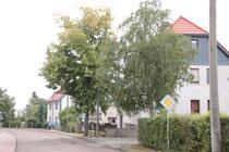 2 von drei 3 betroffenen Bäumen an der Ausfahrt Oststraße