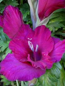 Großblumige Edelgladiole Gladiolus x hortulanus - im Biogartenversand