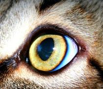 persistierende Pupillarmembran bei einer Katze