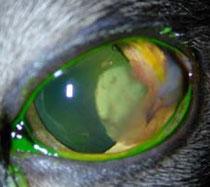 Hornhautdefekt bei einer Katze mit Fluoreszein eingefärbt
