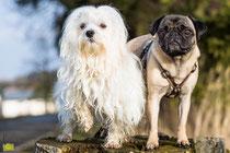 Mia, Mops, Julius, Malteser, Hund, dog, pug, Mops, Foto, Bilder, Tierfotos, Tierbilder, Fotografie, Tierfotografie, Hundefotografie, Bayern, Oberbayern, München, Mühldorf,