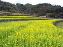 志田の菜の花畑