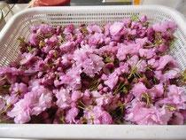 塩付け用八重桜