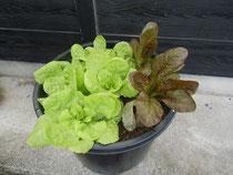 サラダ菜とレタス
