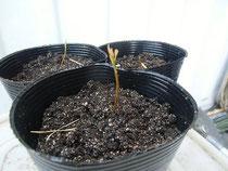 タブノキの芽が