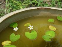 ガガブタの花とメダカ