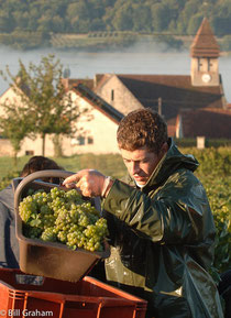 vendenge,champagne harvest,grape picking