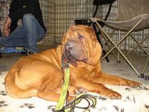 Un chien bien installé est à l'abri de trop de stress, il sera donc plus confiant sur le ring.