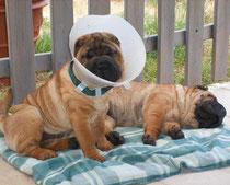 Votre chien sera mal à l'aise avec sa colerette les premiers jours mais laissez lui quand même afin de ne pas mettre en péril sa cicatrisation.